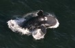 A right whale rises and breaks through the surface of the water.