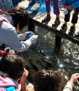 Children looking at farmed fish.
