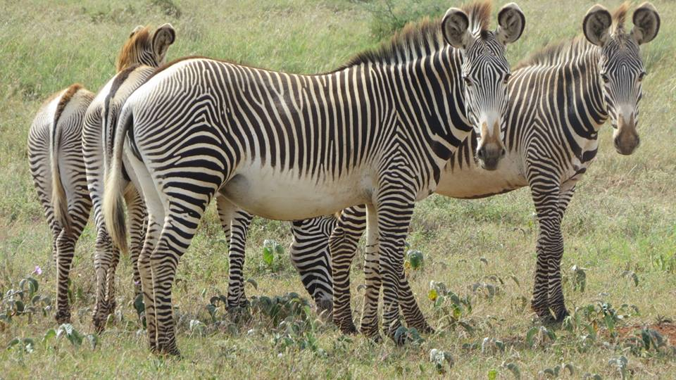How Deep Learning Is Helping Save Endangered Zebras | NVIDIA Blog